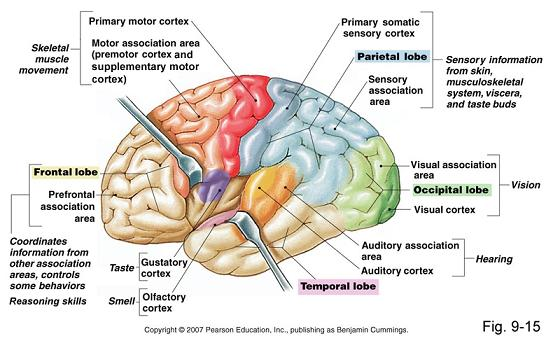 A side view of the brain illustrating the four lobes of the cerebral cortex, the primary sensory and motor areas and the areas of the association cortex