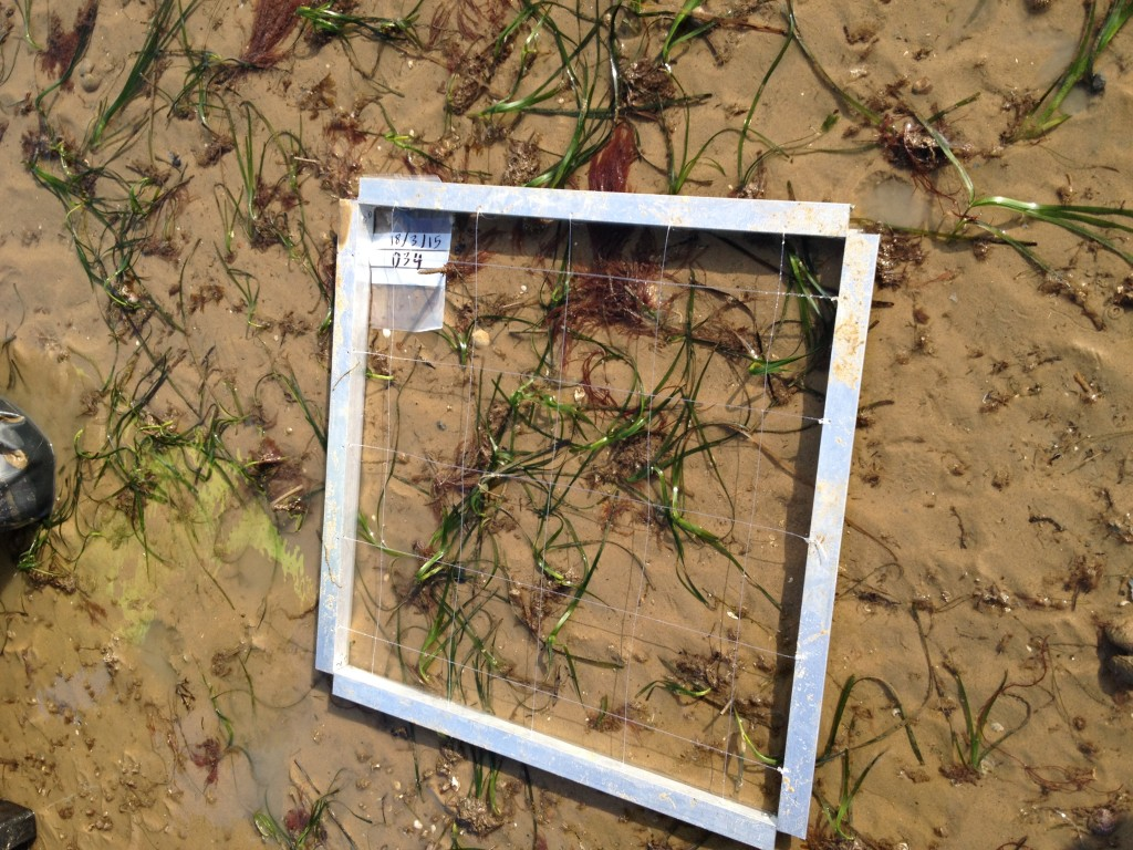 Sampling  location with grid frame , showing zostera marina patches (photo by Hachem Kassem)