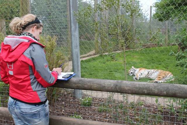 Observing Milla, female Amur tiger (Panthera tigris altaica), Marwell Wildlife