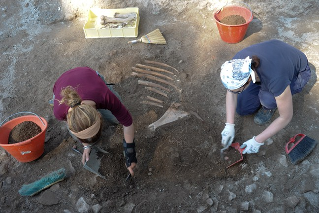 Excavating the bones of a young cow